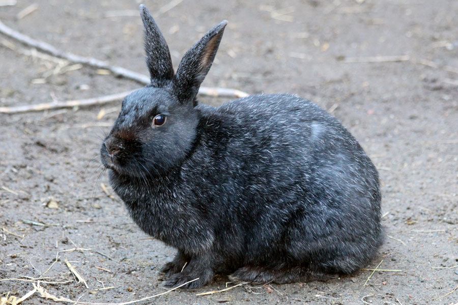 Swedish fur rabbit
